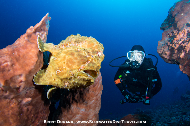 Large Frogfish in Bali