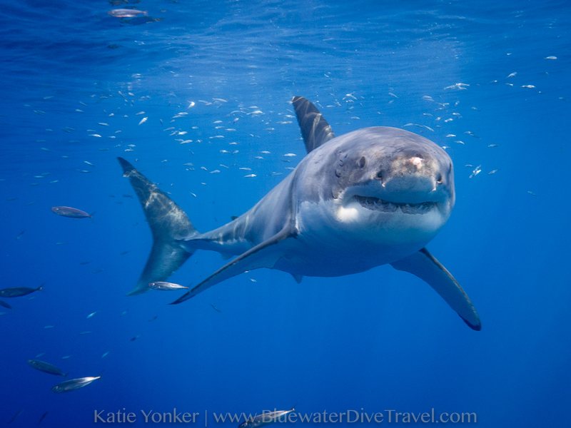 Great White Shark in Guadalupe - Katie Yonker