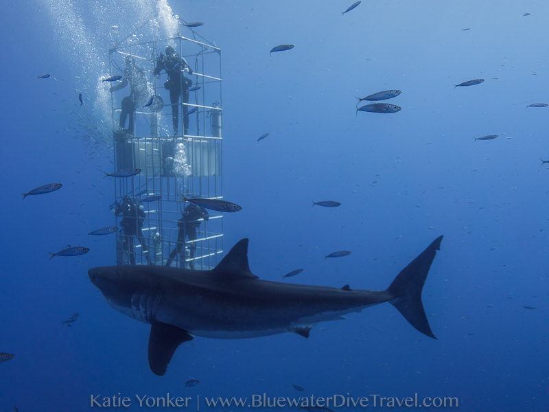 Great White Shark and Divers in Cage - Katie Yonker