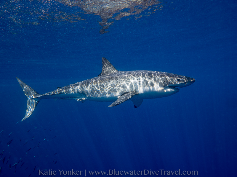 guadalupe island diving