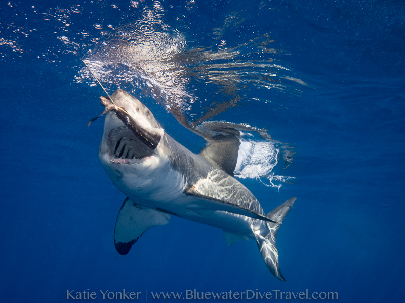 Great White Shark with Bait - Katie Yonker