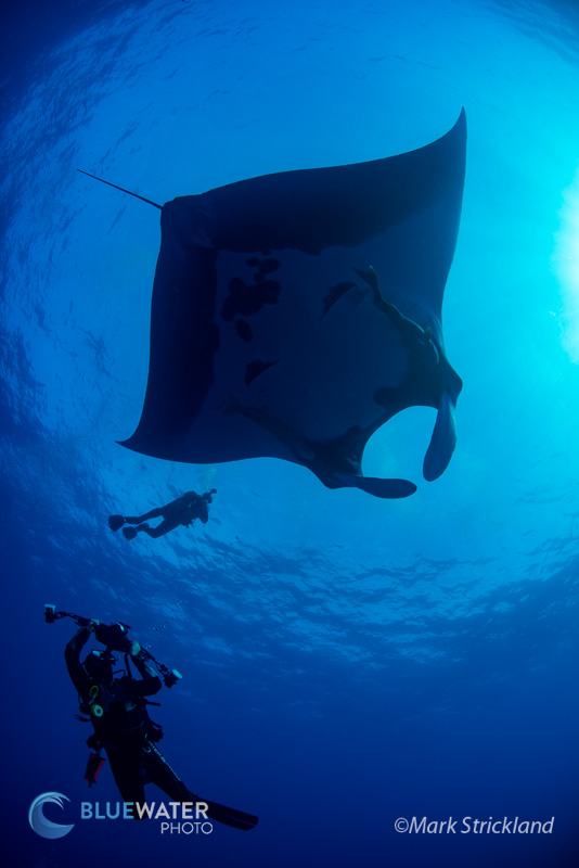 Manta Ray and Diver in Socorro - Mark Strickland