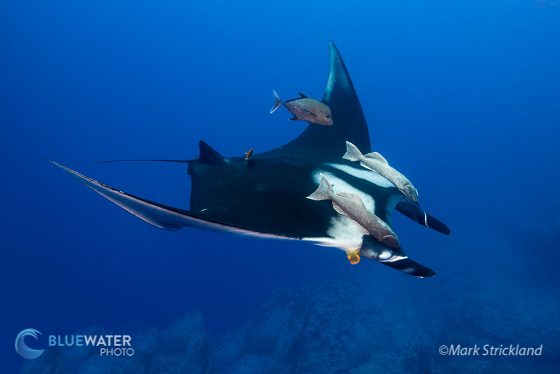 Manta Ray in Socorro Islands - Mark Strickland