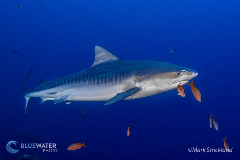 Tiger Shark in Socorro - Mark Strickland