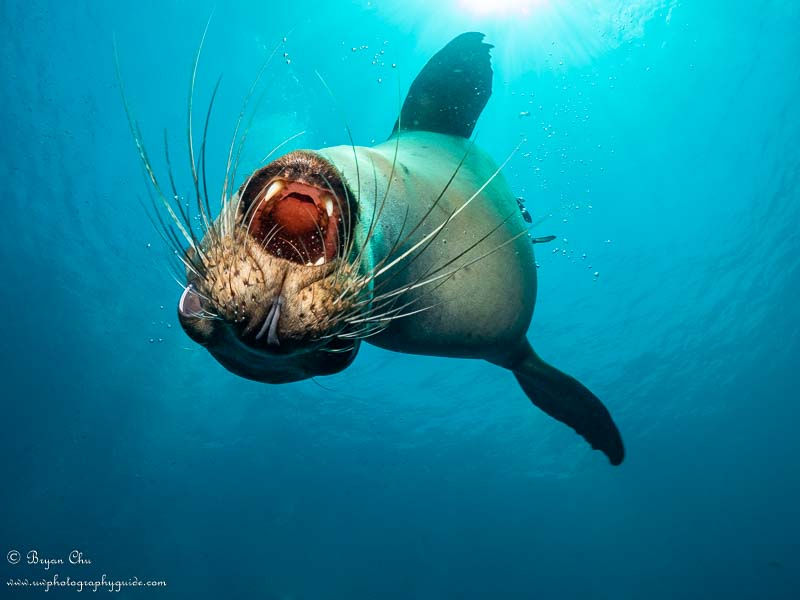 Sea Lion, Sea of Cortez