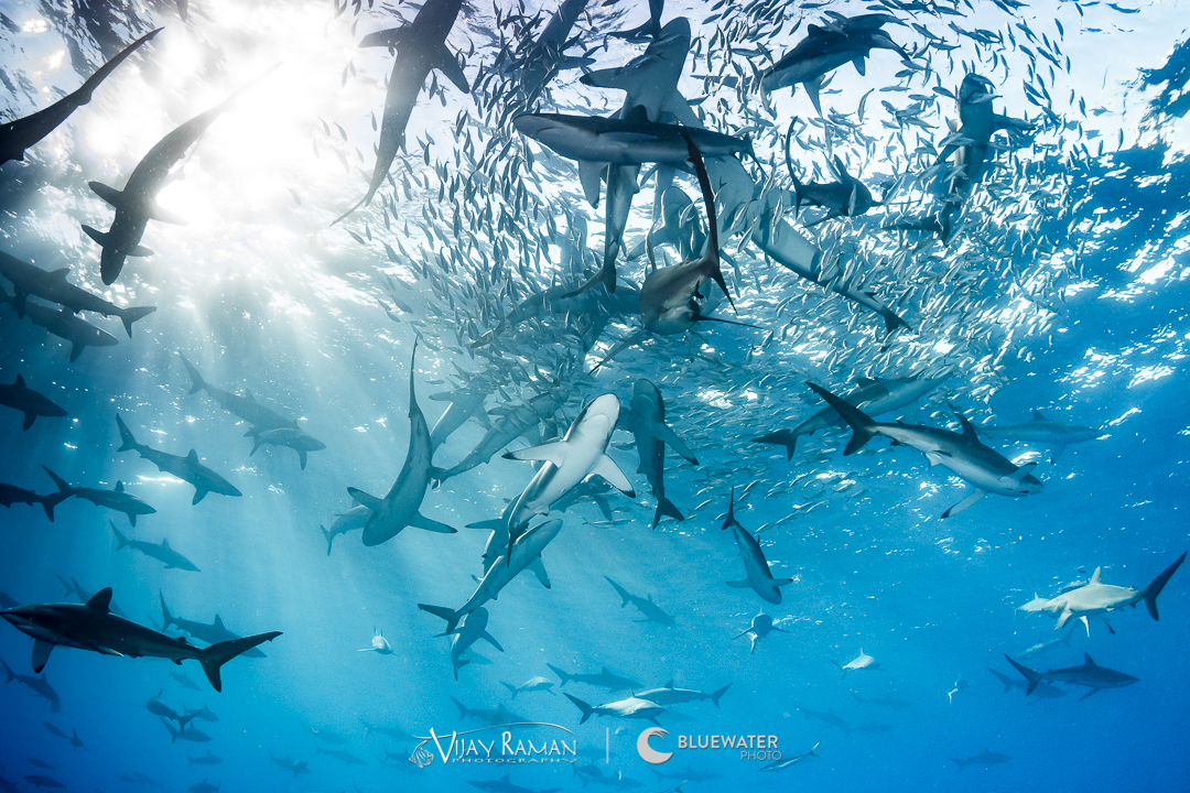 Hundreds of silky sharks in Socorro Islands, Mexico