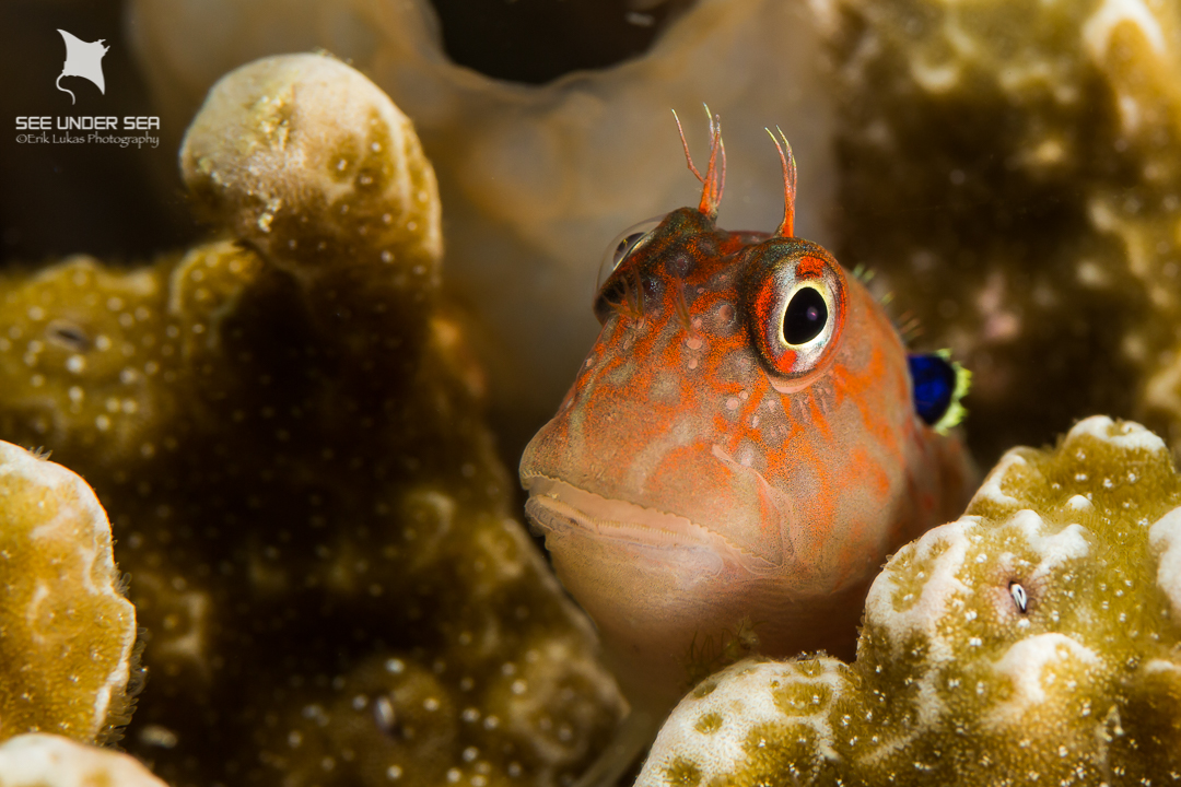 An earspot blenny peers out of its hiding spot in the hard coral