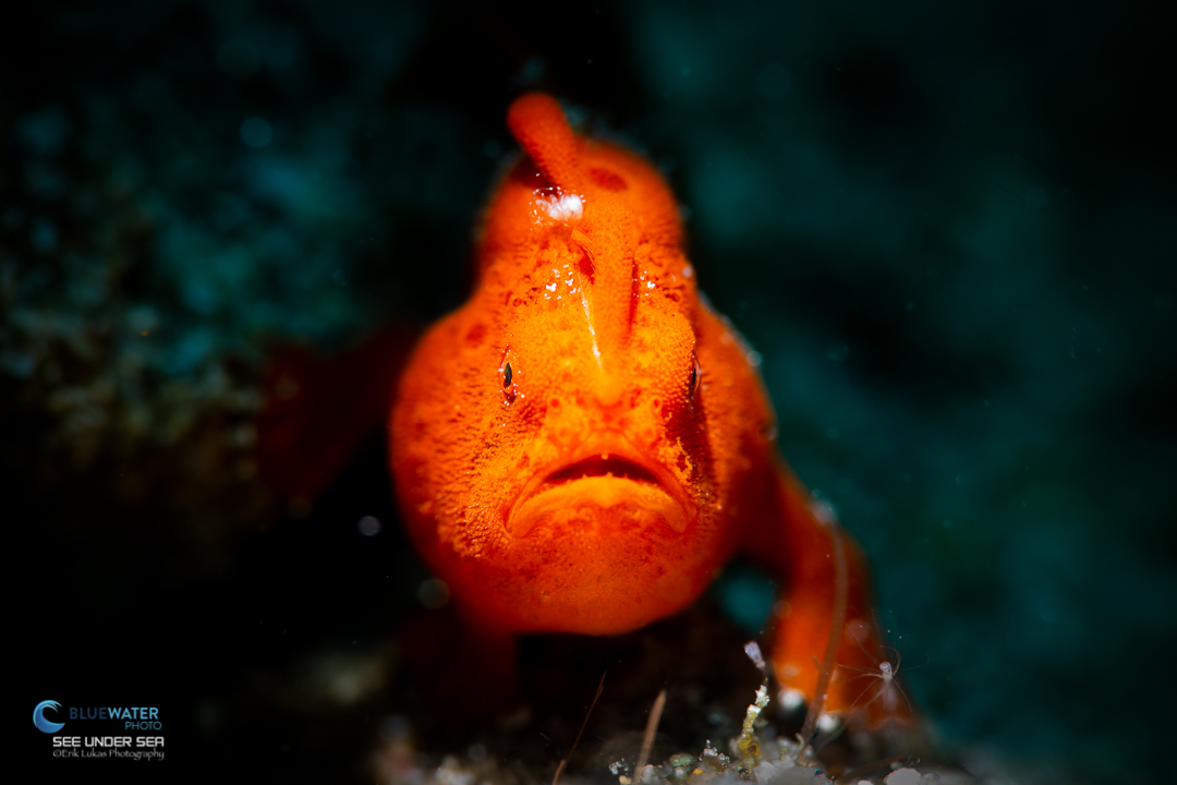 frogfish in anilao