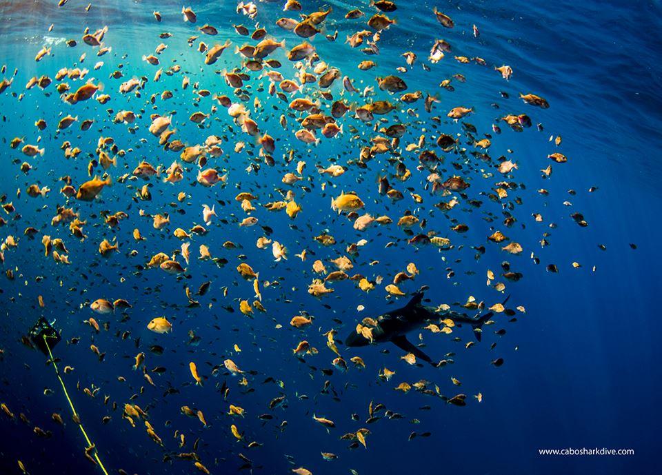 Cabo Shark Dive