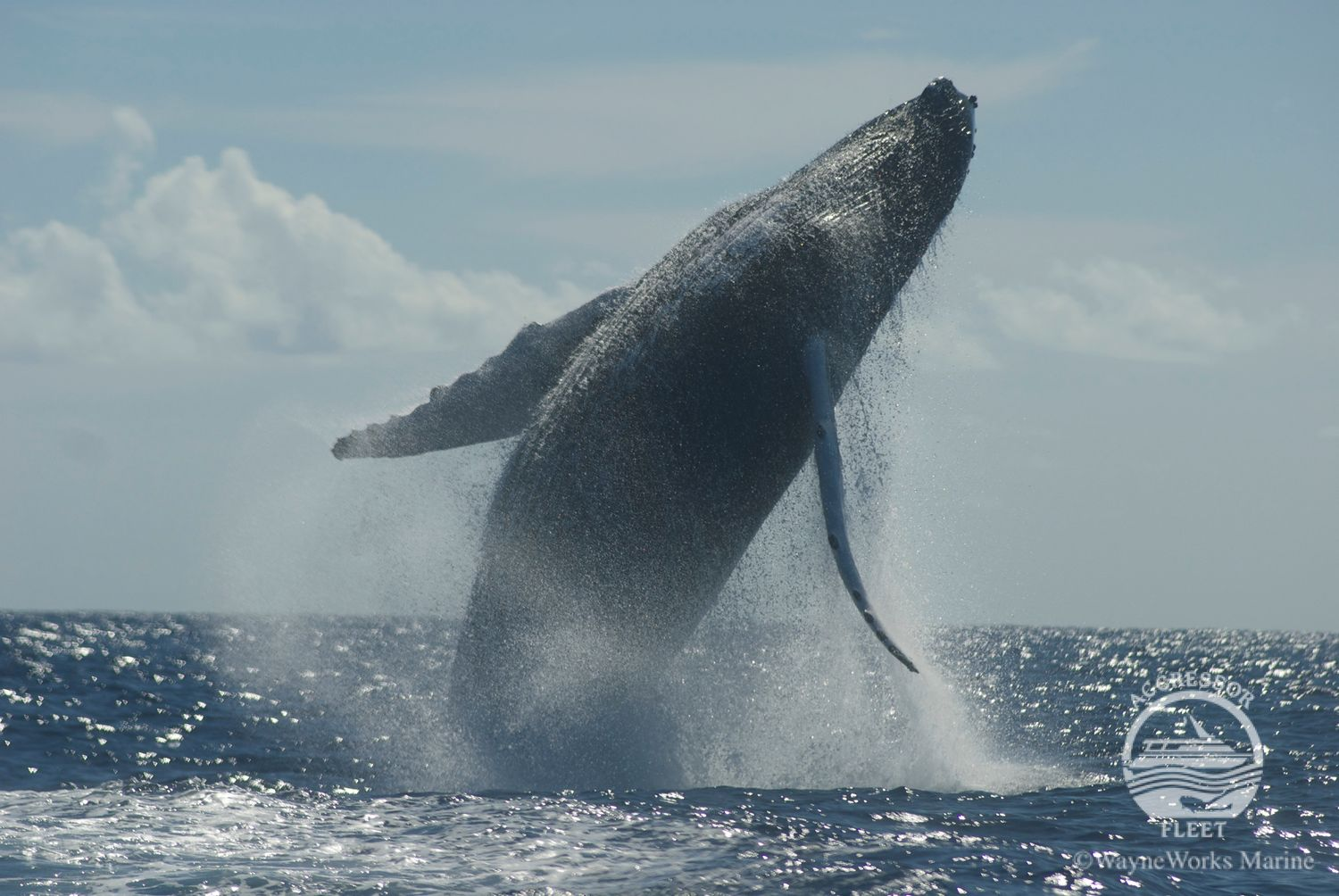 Silver Banks - Humpback Whales
