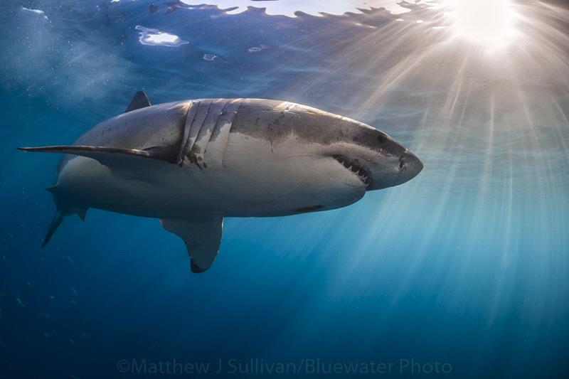 Great White Shark and Sunball - Matt Sullivan
