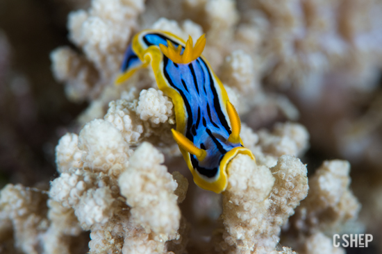Chromodoris annae Nudibranch