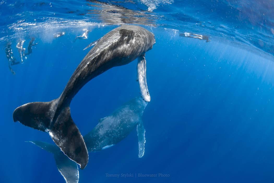 moorea humpback whales