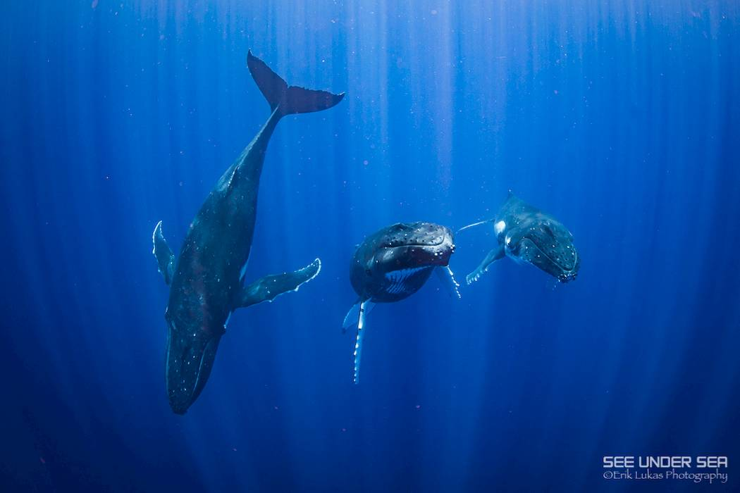 humpback whales french polynesia