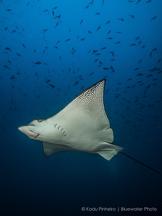 Eagle ray Cocos