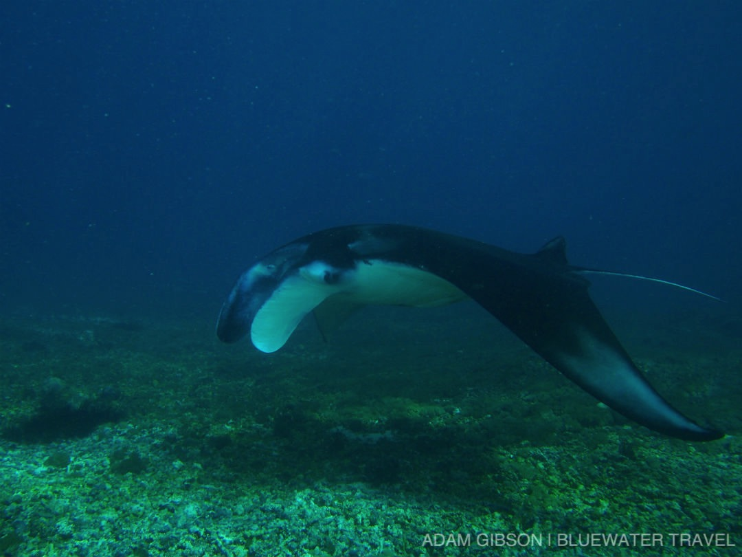 Best Manta Ray Diving