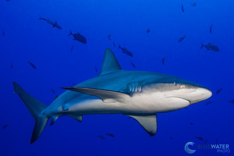 socorro shark diving