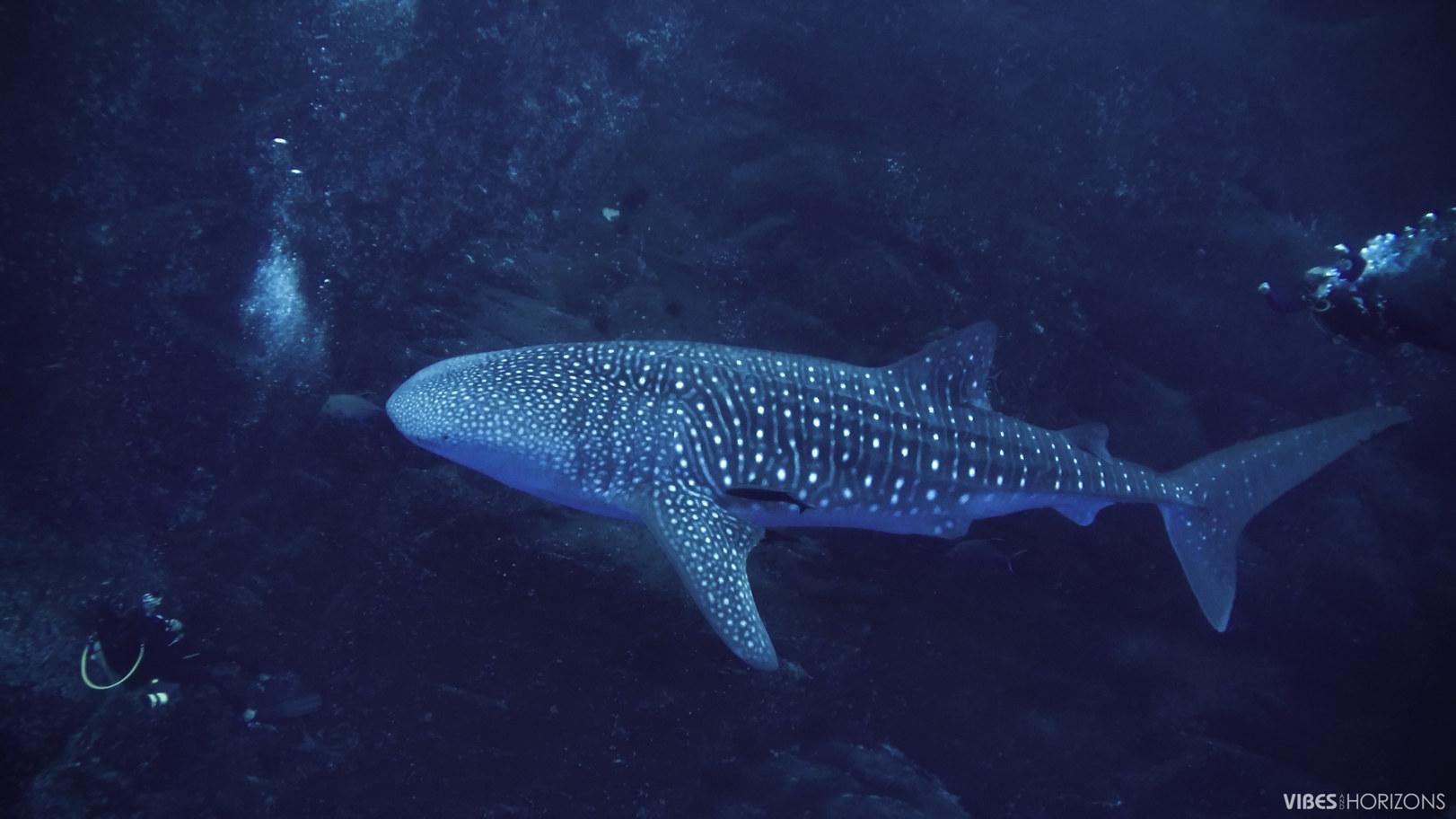 whale shark roca partida