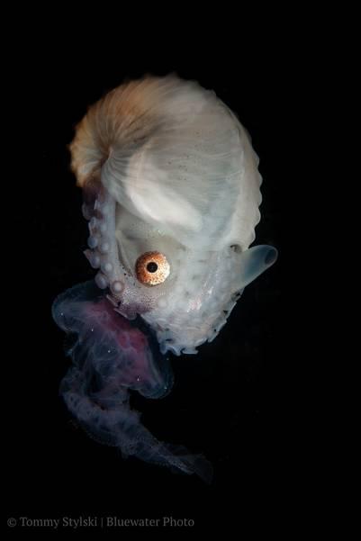 Anilao trip - Paper nautilus