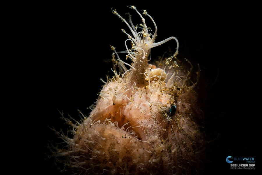 Hairy frogfish seen during a dive in Anilao