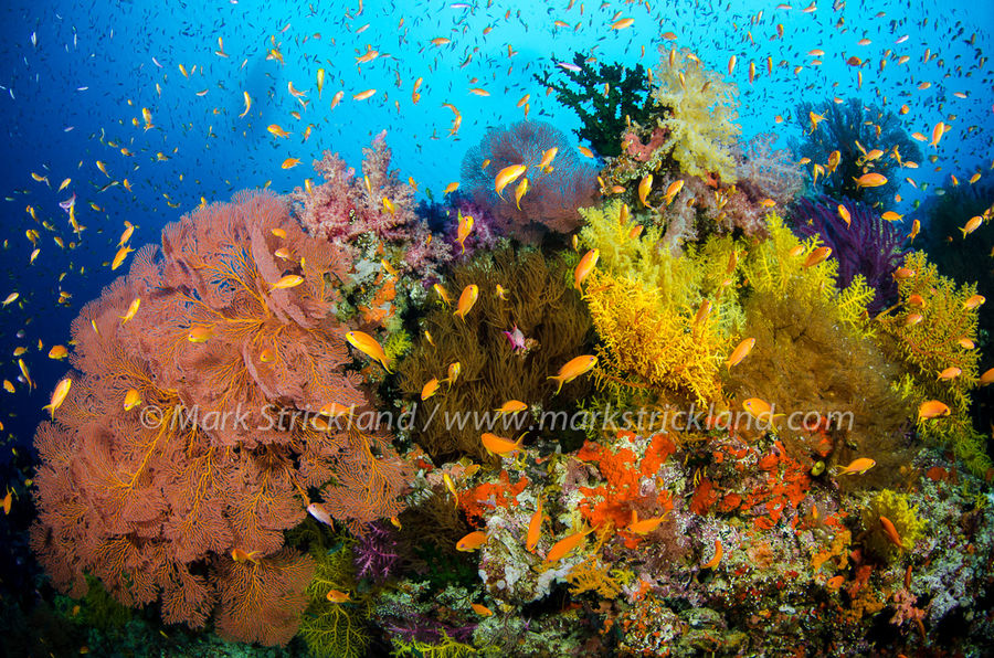 Reefscape of Fiji by photographer Mark Strickland