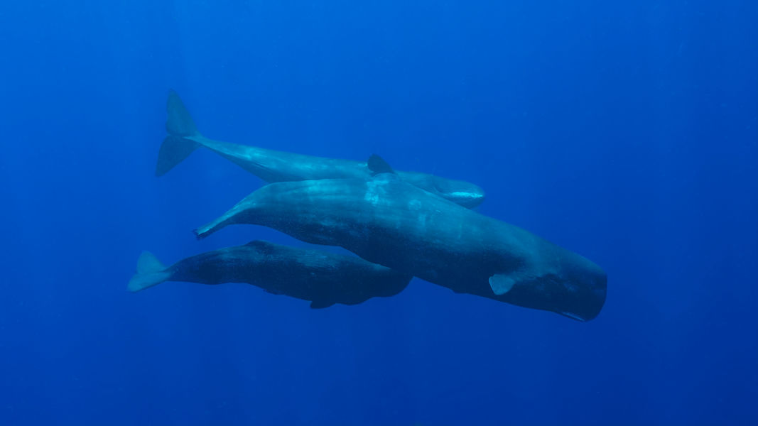 Scuba diving aside,the impressive concentration of sperm whales in Dominica's waters, is one of the biggest tourist attractions in the country.