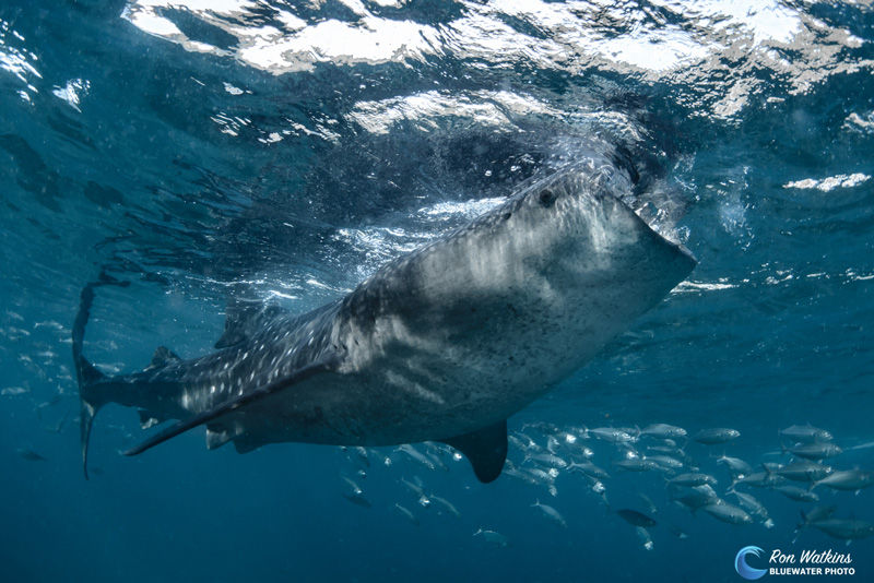 Derawan is an amazing place to visit to swim with whale sharks.