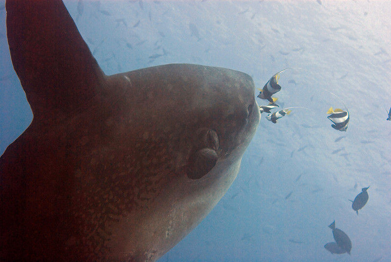 Mola mola aka the sunfish, seen while diving Nusa Penida Bali.