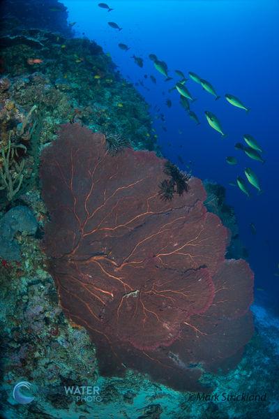 solomon islands corals