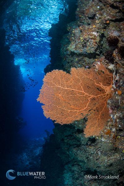 solomon is corals