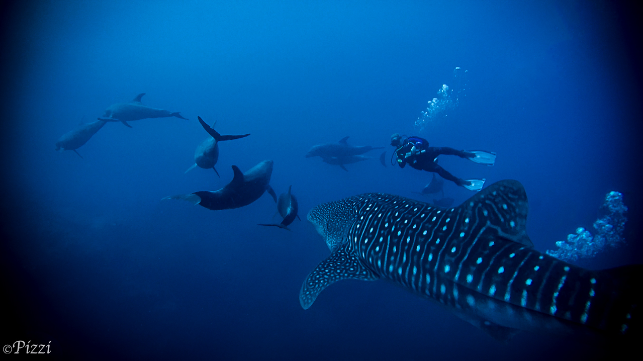 Whale shark encounter in Socorro, December 2018, with dolphins and manta in one frame