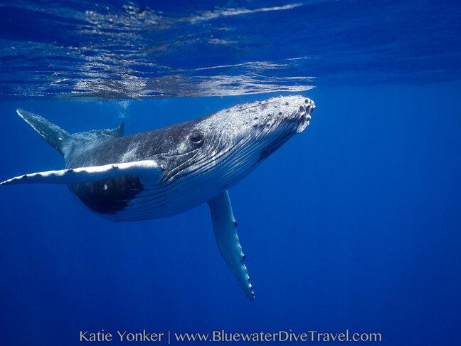 humpback whale moorea