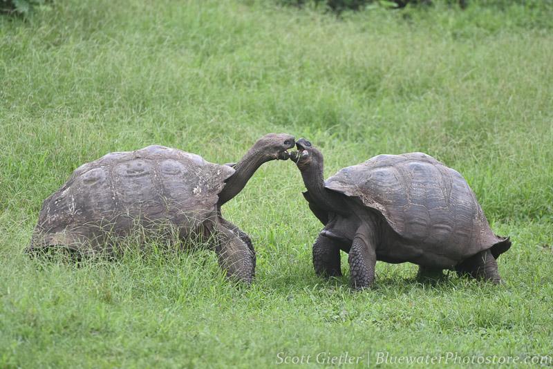 Galapagos Tortoises fighting