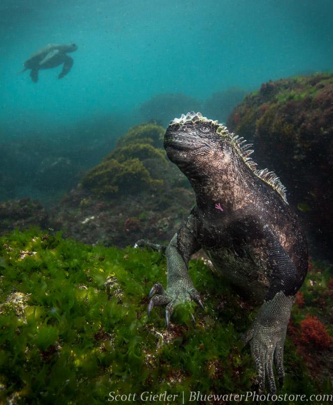 Marina Iguana Galapagos