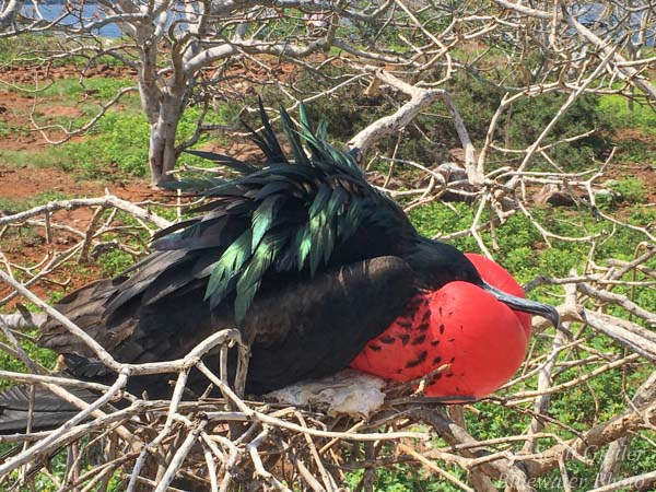 Galapagos Frigatebird Red throat