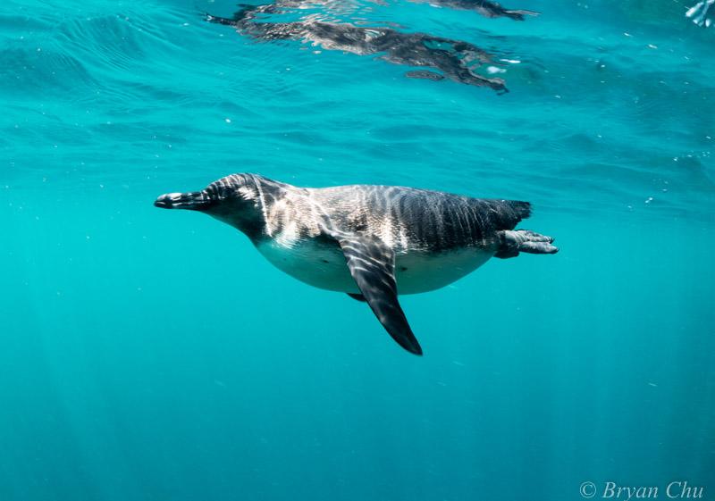 Galapagos - Penguin
