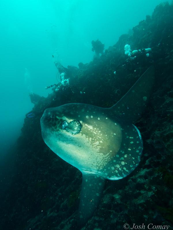 Mola mola Galapagos Islands