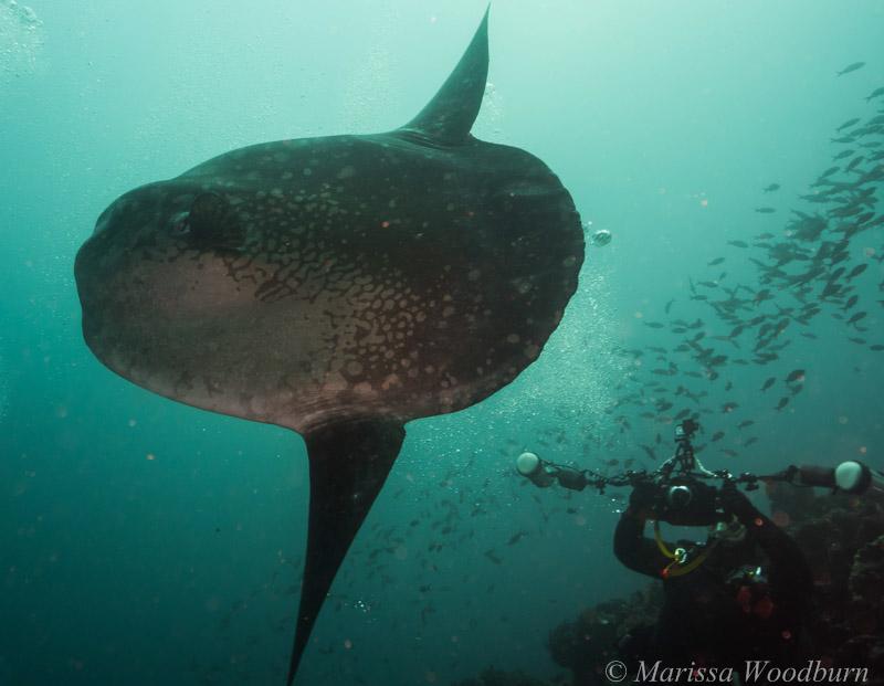 Mola mola Galapagos diving