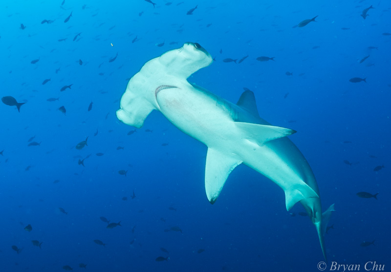 Hammerhead shark Galapagos underwater photo