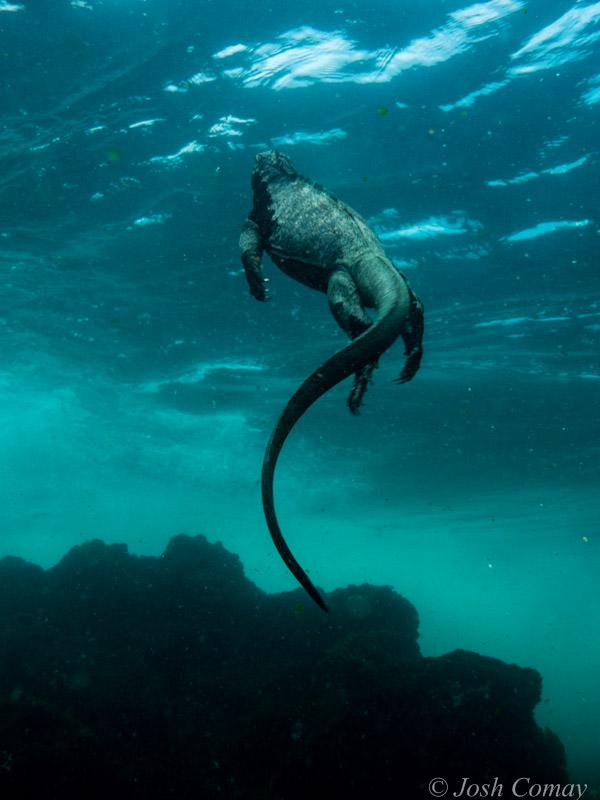 Galapagos Marine Iguana swimming