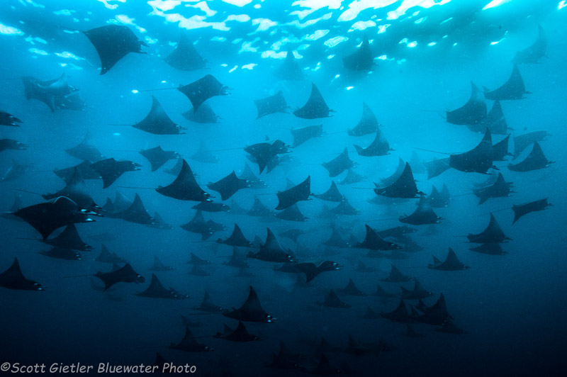 Mobula rays, diving Galapagos Islands