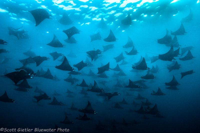 Mobula Rays, Galapagos