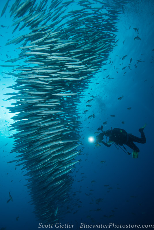 schooling barracuda Galapagos diving