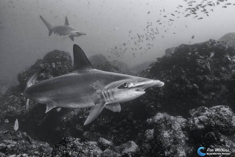 hammerhead sharks essay Sharks essays: over written essay all essays tiger sharks about all sharks hammerhead sharks sharks tiger sharks white sharks summarize and discuss the.