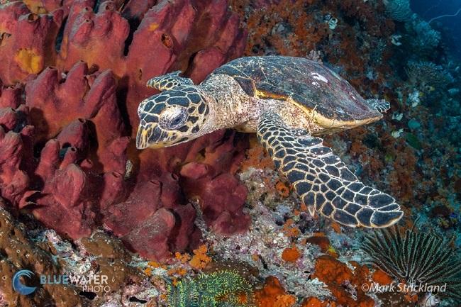 hawksbill turtle raja ampat