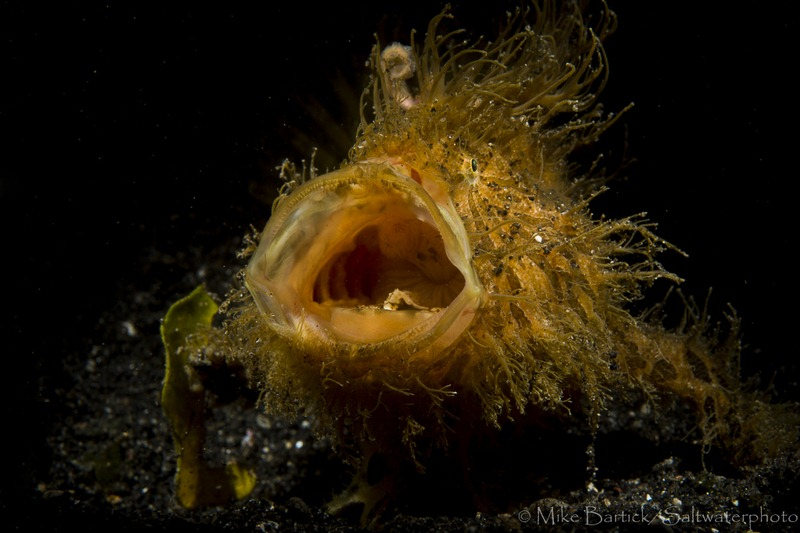 Hairy Frogfish lembeh strait