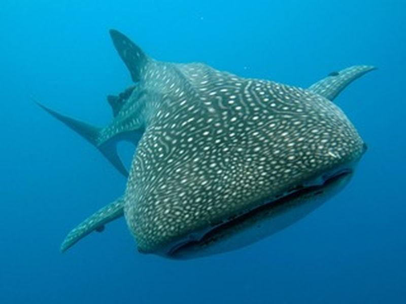 Magic Oceans Lila-Bohol Whale Shark Trip