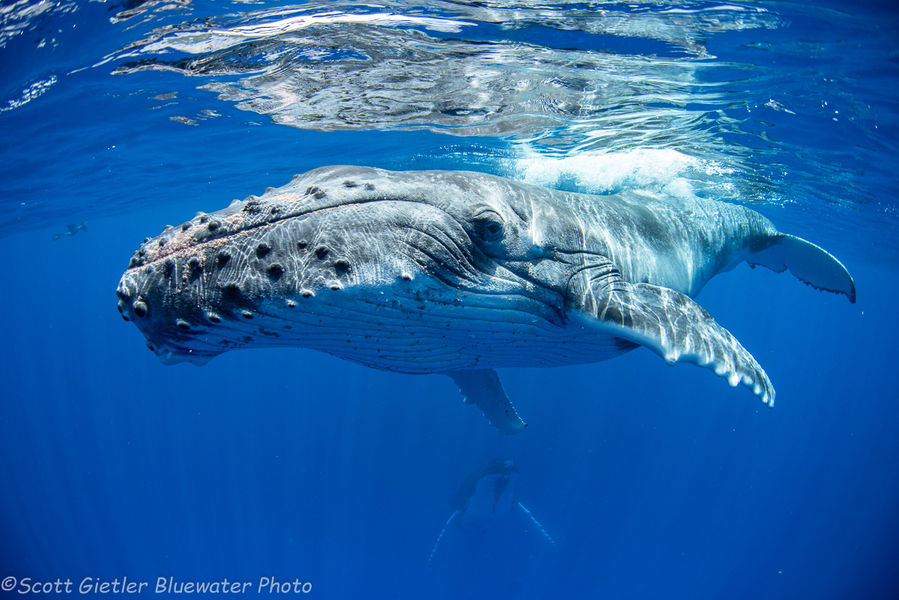 Humpback Whale in Moorea, French Polynesia