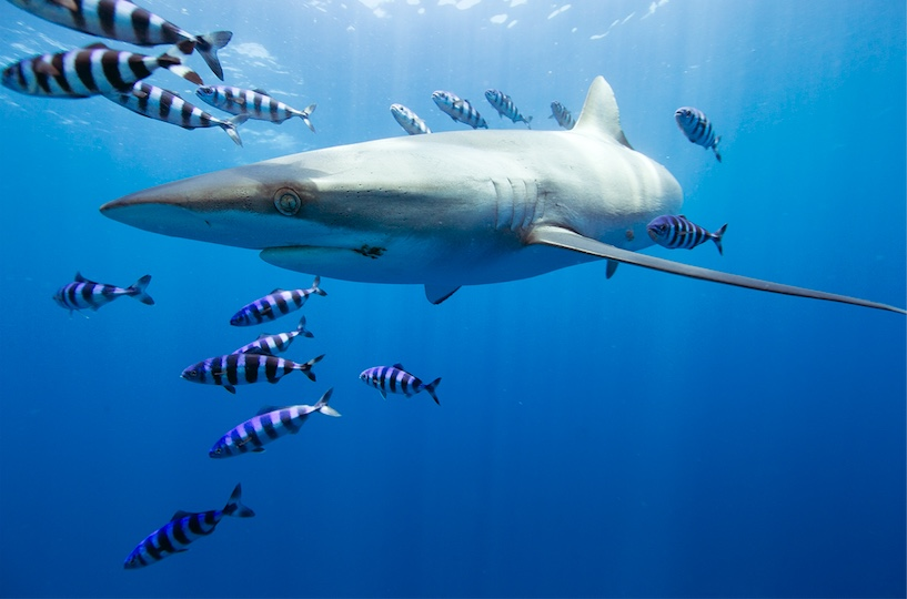Pelagic Safari's Cabo Shark Diving