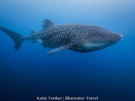 Galapagos whale shark spotted in May 2018